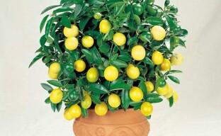 Особенности ухода за комнатным лимоном для получения ароматных плодов