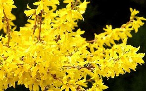 Почему не цветет форзиция в вашем саду