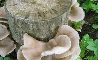 Выращивание грибов на пнях