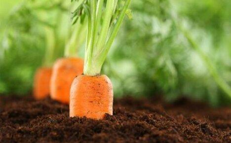 Хорошие и плохие предшественники для моркови