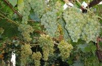Где можно выращивать сорт винограда Белое чудо и что в нем особенного