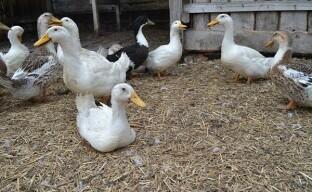 Личное подсобное хозяйство — животноводство для начинающих
