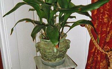 Фото с описанием сортов аспидистры для выращивания дома