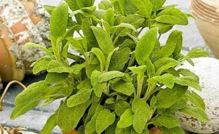 Красивый и целебный шалфей лекарственный: выращивание через рассаду