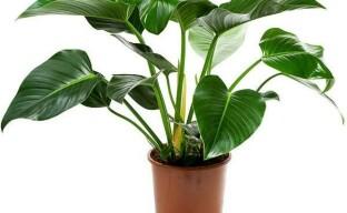 Филодендрон: уход за растением после покупки