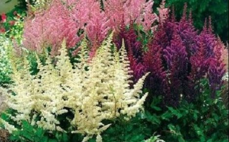 Как посадить астильбу весной