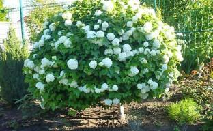 Калина бульденеж — снежная королева в весеннем саду