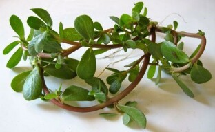 Портулак — лечебные свойства сорняка-целителя