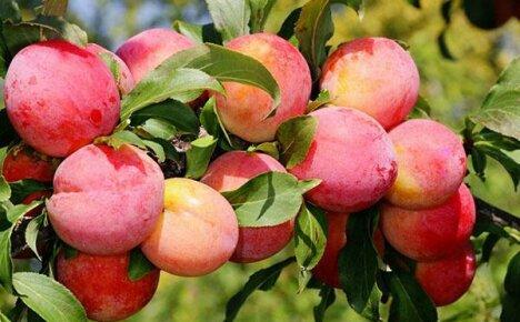 Выращиваем на дачном участке сорт сливы Персиковая