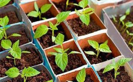 Когда садить перец на рассаду?