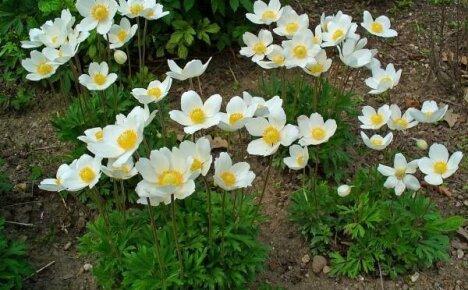 Анемоны: особенности выращивания красивых и нежных многолетников