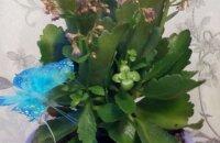 Как реанимировать каланхоэ: спасаем цветок от усыхания и гниения