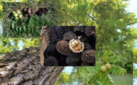 Орех черный – посадка и уход за мощным многолетним исполином