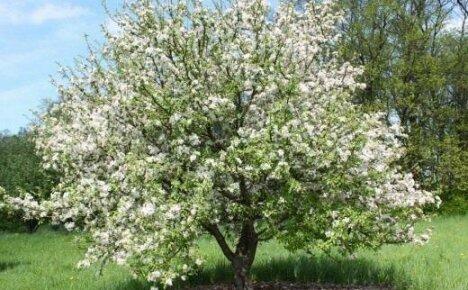 Обработка яблони от вредителей в период цветения