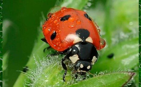 Симпатичное насекомое божья коровка служит на благо людям
