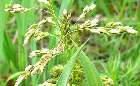 Полезные свойства травы зубровка и сфера применения