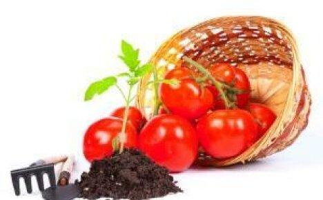 Как вырастить рассаду томатов в домашних условиях?