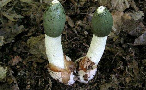 Полезные свойства и рекомендации по применению гриба веселка
