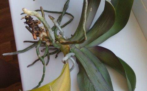 Как спасти орхидею: реанимация растения с гнилыми корнями