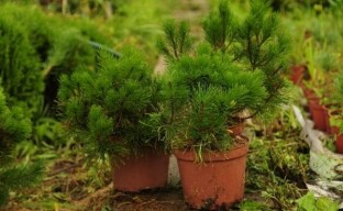 Выращивание сосны горной: тонкости посадки и ухода