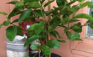 Весенние работы с комнатными цитрусовыми растениями: пересадка, обрезка, подкормка