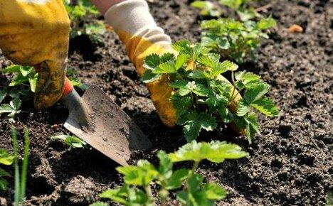 Как посадить клубнику весной