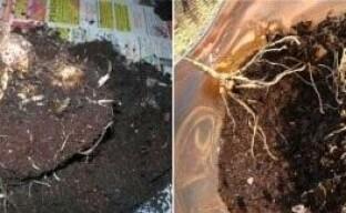 Особенности ухода за корневищными и клубневыми каллами после цветения