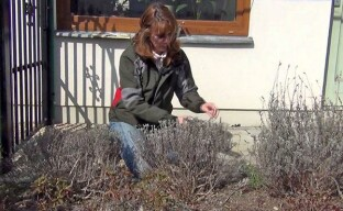 Парикмахерская садовода — весенняя обрезка лаванды