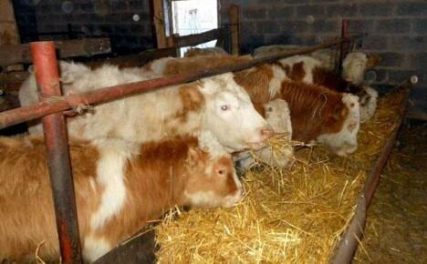 Каким должен быть самый эффективный откорм бычков