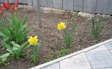 Чем подкормить нарциссы и тюльпаны весной?