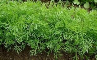 Некоторые нюансы о выращивании укропа