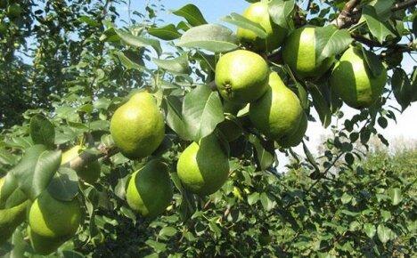 Скороплодный сорт груши Москвичка