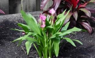 Выращиваем садовую каллу