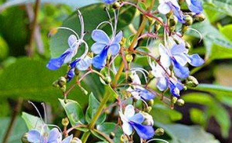 Внимание цветоводов привлекают голубые мотыльки на зелени клеродендрума Угандийского