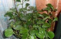 Можно ли держать пеперомию в доме: виды растения и связанные с ним приметы