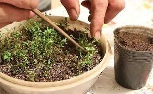 Уход за рассадой чабера или как вырастить крепкие здоровые сеянцы
