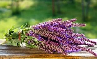 Полезные свойства шалфея или чем поможет красивая и лечебная травка