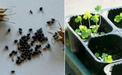 Выращиваем аквилегию семенами: два способа