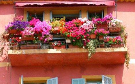 Выращивая петунию на балконе, не забываем о правилах ухода