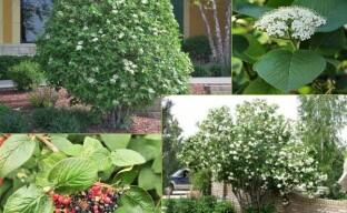 Калина гордовина – оригинальный съедобный многолетник в вашем саду