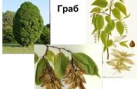 Такой величественный и разноликий граб — фото дерева и листьев