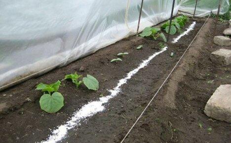 Отличный урожай обеспечит подкормка огурцов в теплице