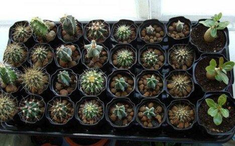 Проводим посев семян кактусов и выращиваем новые интересные экземпляры