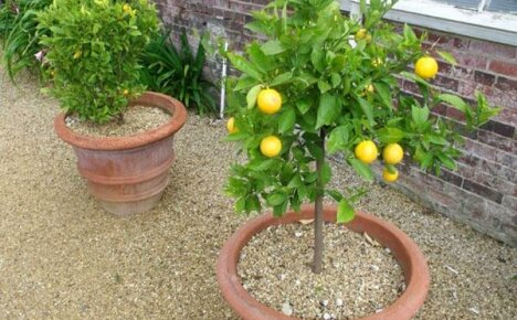 Увеличиваем плодоношение комнатного лимона