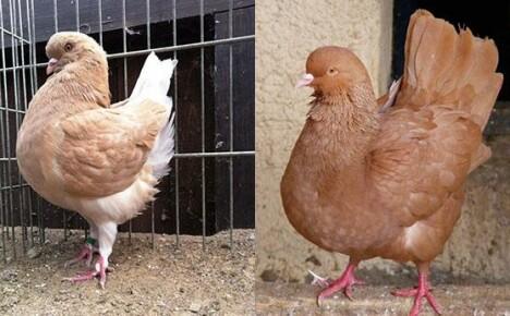 Разведение мясных голубей в 3 этапа: покупка, кормление и размножение