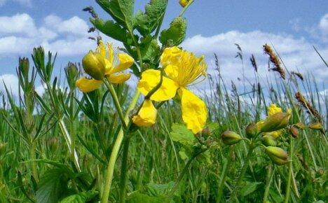 Величественное растение чистотел и его полезные свойства для организма