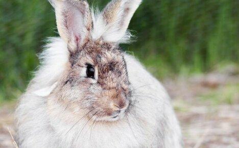 Линька у кроликов – почему у животного выпадает шерсть?
