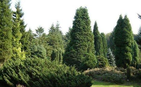 Вечнозеленые долгожители земли — хвойные деревья