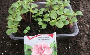 Выращивание рассады бальзамина