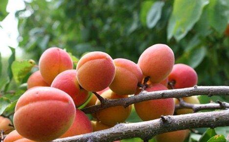 Неприхотливый зимостойкий абрикос сорта Краснощекий